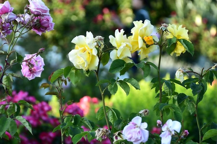 ogród z krzewami róż